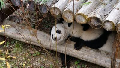 首對「海歸」熊貓龍鳳胎返華