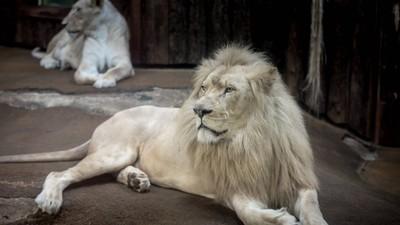 萬獸之王糗困樹上!母獅底下冷眼相看:回家也是跪算盤