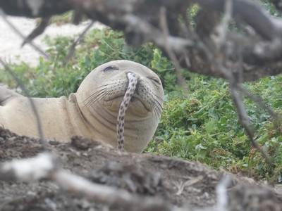 夏威夷僧海豹掛一條「鰻魚鼻涕」超蠢萌 就說吃東西別講話吼
