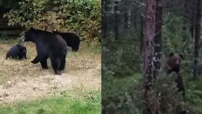 亂入熊待遇大不同!加拿大用愛勸離、芬蘭人罵到懷疑熊生