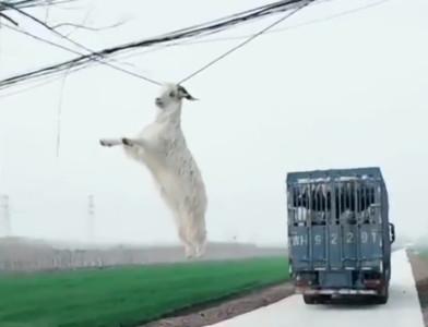 貨車經過!小山羊秒掛電線上晃:快救我