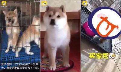 花六千買柴犬 寄來短腿白眉小奶狗
