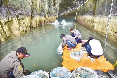 東引島放養6000隻龍蝦崽