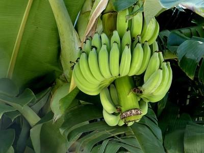 抓鱉男割5串香蕉 代價要18萬!