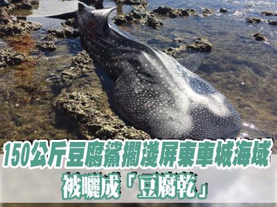 150公斤鯨鯊屏東擱淺被曬成豆腐乾