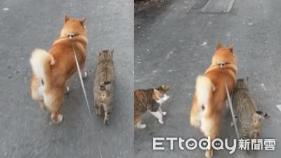 散步遇到自來貓 沿路蹭柴犬撒嬌