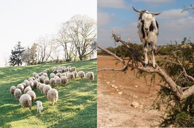 Dappei/羊會爬樹居然是這個原因