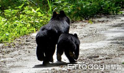 僅隔84公尺巧遇台灣黑熊「母帶子」
