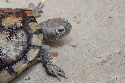 宮廟辦進香 信徒帶「百隻巴西龜」想放生