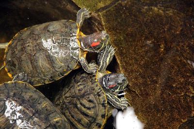 信徒欲放生幼龜祈福 險釀生態危機