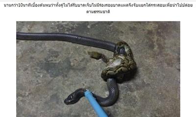 蟒蛇纏鬥眼鏡蛇 「恐怖麻花」嚇壞屋主