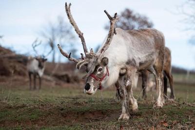 氣候暖化惹禍 北極圈馴鹿數量大減半