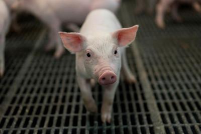 防範非洲豬瘟 台糖:嚴管進出人員