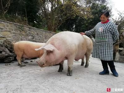 四川「千斤豬」 主人留牠命供欣賞