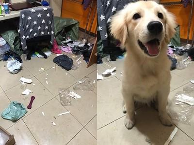 房間變廢墟「愛犬傻笑」!她神經線秒斷