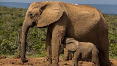 小象不再長牙了!沒牙才能躲過一劫 人類獵殺改變演化機制