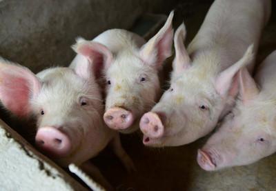 非洲豬瘟燒陸 廚餘+未消毒造成