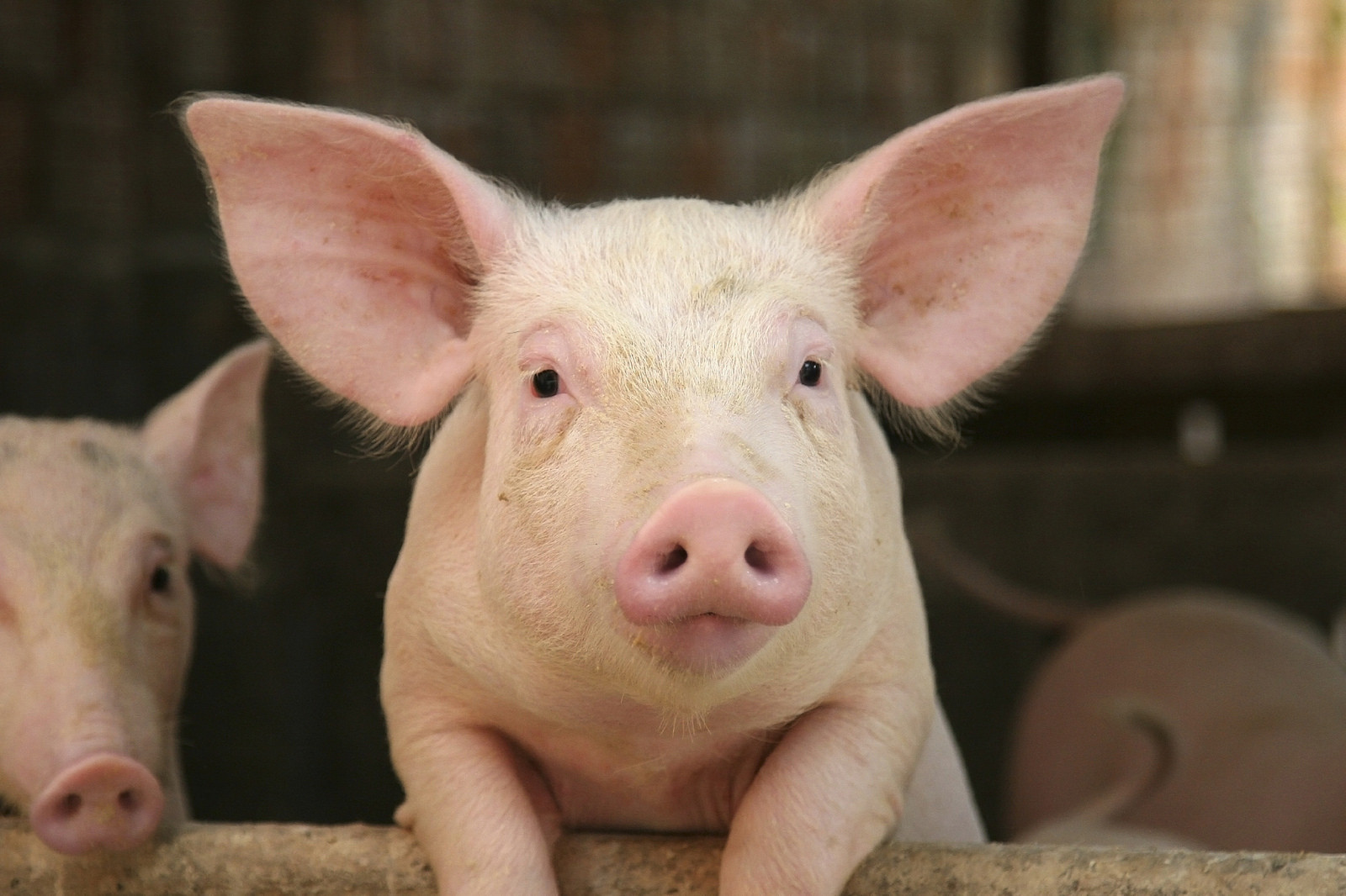 ▲▼豬,非洲豬瘟,小豬。(圖/翻攝自Flickr/AnimalsAustralia)