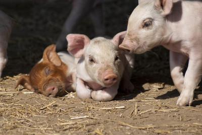 福建再現非洲豬瘟疫情