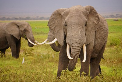 柬埔寨查獲3.2公噸走私象牙 成違法野生動物轉運站