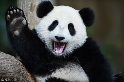 香港海洋公園擬將大熊貓「送回四川繁殖」