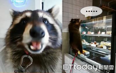 浣熊緊握蛋糕櫃 掛空中哀怨逼視