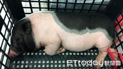 小豬狂舔2辣妹腳趾 警發現主人是他