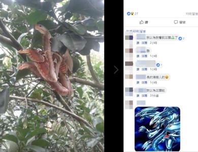 樹上驚見「血色3頭蛇」嚇傻!神人解答了