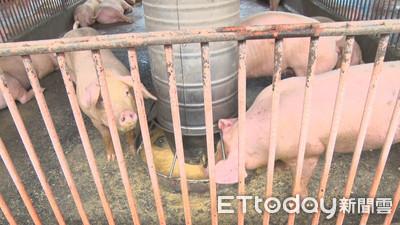台養殖場中豬瘟 3方式全面撲殺