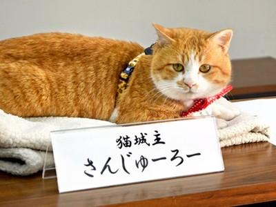 挺過暴雨災難!橘貓受封為日本「大城主」 人類家臣鋪紅地毯歡迎