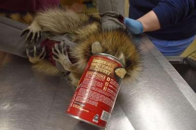 開罐救浣熊 看到牠的臉瞬間噴笑