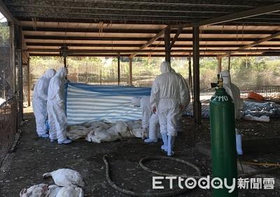 桃園養鵝場爆發禽流感 撲殺近1200隻