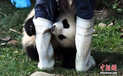 貓熊「奇一」愛抱大腿爆紅!