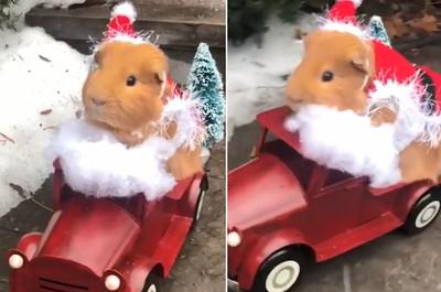 天竺鼠化身「聖誕小鮮肉」發禮物