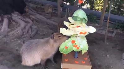 園方特製菜菜聖誕樹 水豚君忘情開嗑
