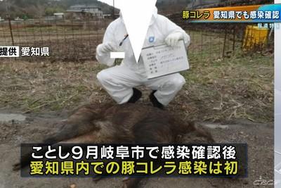 日第6起豬瘟案例 愛知縣野豬感染亡