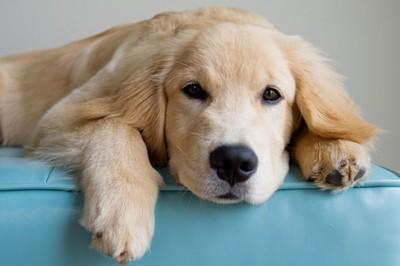 狗狗的健康威脅—5分鐘了解犬淋巴瘤