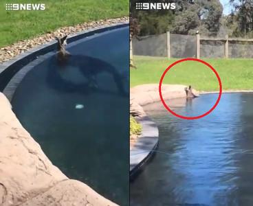 70kg大袋鼠闖泳池泡澡 嚇壞澳洲這家人