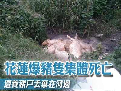 花蓮爆豬隻集體死亡 遭養豬戶丟棄在河邊