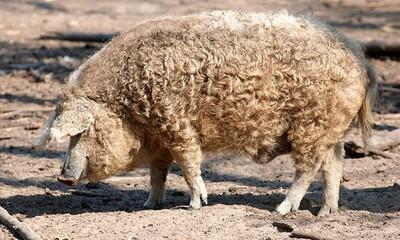 蘇格蘭莊園驚見「匈牙利綿羊豬」