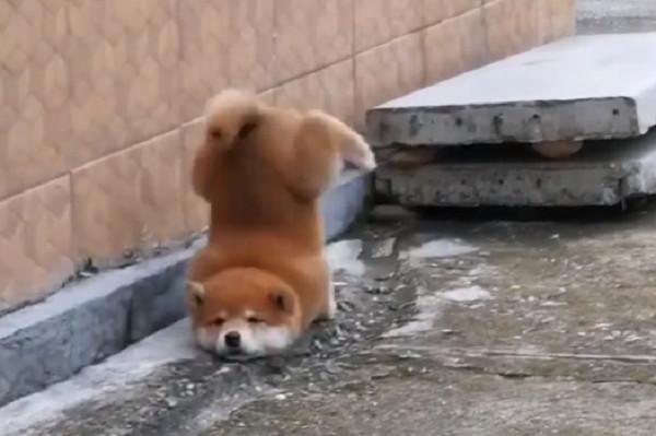 柴幼幼下台階一跳下巴著地! 「屁屁朝上」滑行一臉懵