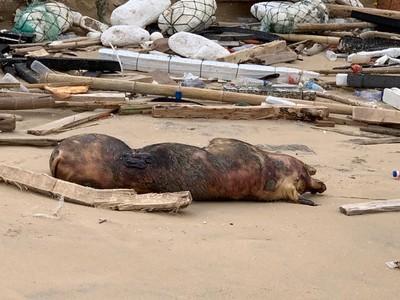 人類的排泄物 會引發非洲豬瘟嗎