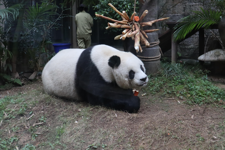 ▲熊貓,貓熊,雷雷,圓仔外婆,圓圓媽媽,福州海峽熊貓世界,海峽熊貓。(圖/記者蔡紹堅攝)