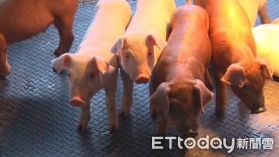 國內近期豬價回軟!農委會減供2000頭因應