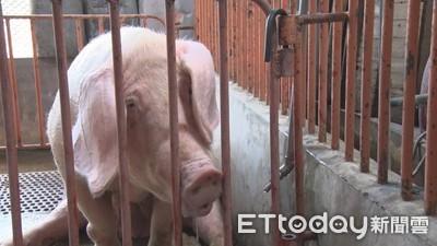 非洲豬瘟侵台風險高!旅客帶肉5個月罰863件