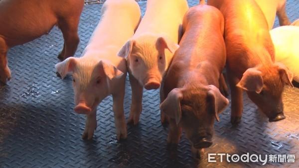 12月辦非洲豬瘟模擬爆發演習 應變中心擬拉高「廚餘養豬」罰則