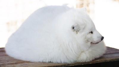 「融化的狐狸」只在冬天出沒! 毛絨絨縮成一球棉花糖最暖和了