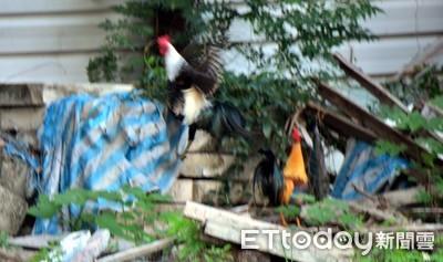 飛天雞清晨狂啼 里長徵獵人除害