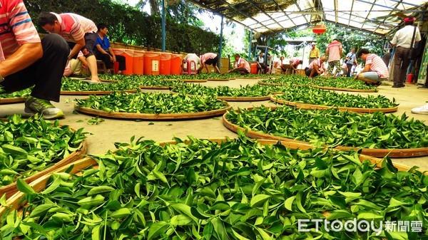 ▲ 新店「文山農場」歷史悠久 孕育「有機茶」健康又回甘。(圖/新北市農業局提供)