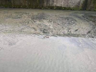 泰山貴子坑溪驚見豬屍 確認是狗屍
